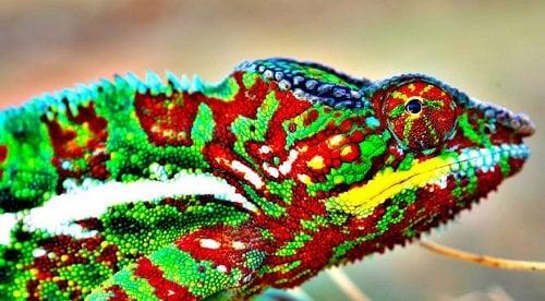 Bukalemunlar | Bukalemunlar Nasıl Renk Değiştirirler?