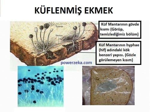 Küflenmiş Ekmeğin Yapısı | Küf Mantarının Hyphae (hif) Adı Verilen Kök Benzeri Yapısı