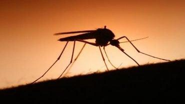 Sivrisinekler İnsanları Nasıl Bulabiliyor?